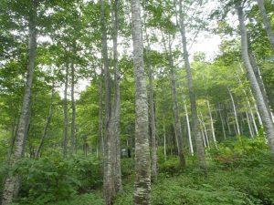 魚沼のブナ林
