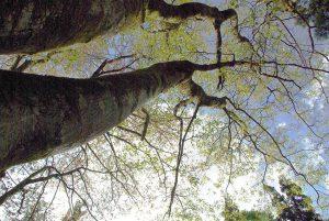 イタヤ大木